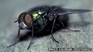 Las moscardas u otras moscas carroñeras podrían proporcionar datos esenciales.
