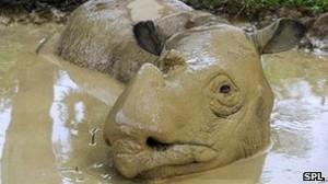 Pese al más alto nivel de protección de Cites, se cree que sólo quedan 200 rinocerontes de Sumatra vivos.