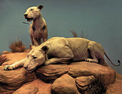Tsavo-lions-at-Field-Museum-Chicago-2