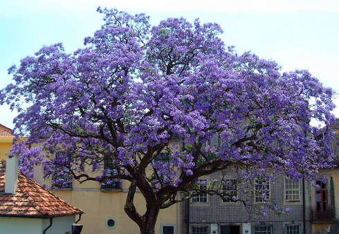 Empress Tree (Paulownia tomentosa). Imagen: MaikT, Flickr