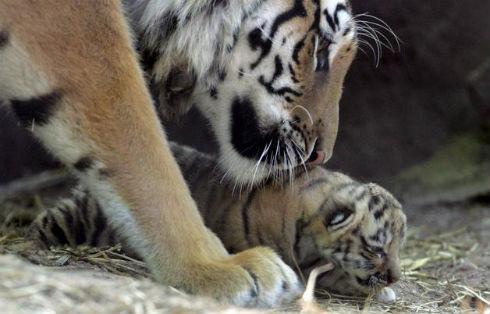 La población en China del tigre siberiano, uno de los animales en mayor peligro de extinción en el planeta, sólo ha aumentado de unos 12 o 16 ejemplares en libertad en el año 2000 a no más de 22 en la actualidad, señalaron hoy responsables de protección medioambiental del Gobierno chino. En la foto de archivo, una tigresa siberiana juega con uno de sus cachorros en el zoológico francés de Amneville. EFE/CHRISTOPHE KARABA
