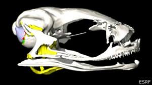 Los expertos utilizaron rayos X para ver cómo oye la diminuta rana