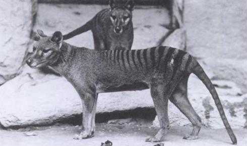 Especies_extintas_tilacino