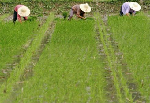th_73d9f63cbf68d5d7391d41bb4dcbecbf_China-producción-arroz