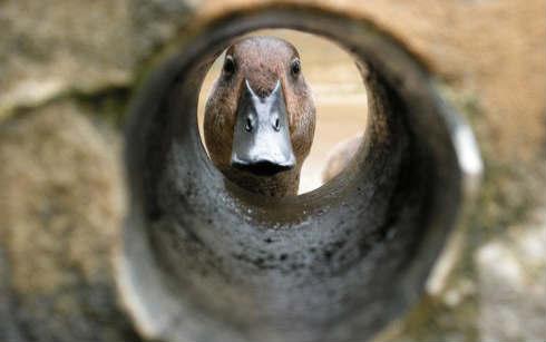 El-pato-más-raro-del-mundo-busca-un-nuevo-hogar