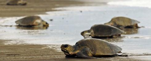 Costa-Rica-tortugas-Caribe_th_2c21faa9b233969ba9c87fd17c646a32