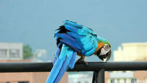 140930182138_venezuela_macaws_624