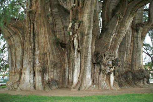 los-arboles-mas-magnificos-del-mundo-ahuehuete-600x401