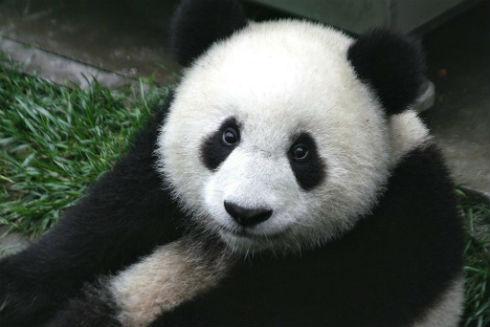 1024px-Panda_Cub_from_Wolong_Sichuan_China-1024x683
