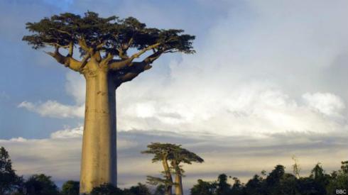 150220115441_baobab_624x351_bbc