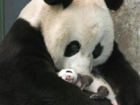 Giant-Panda-and-Cub-China-1024x768