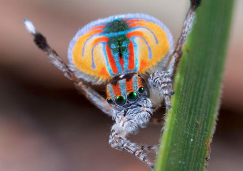 Especies_nuevas_araña_pavo_real