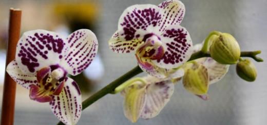 colombia-orquídea
