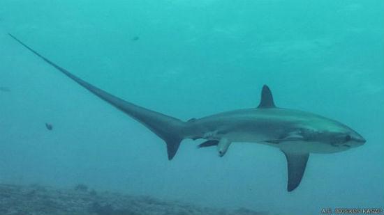 Se cree que ésta es la primera fotografía de una especie de tiburón oceánico dando a luz.