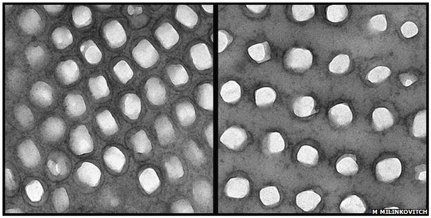 Dentro de los cromatóforos de un camaleón relajado (izquierda) los cristales están apretados. Cuando está excitado, los cristales se distancian (derecha).