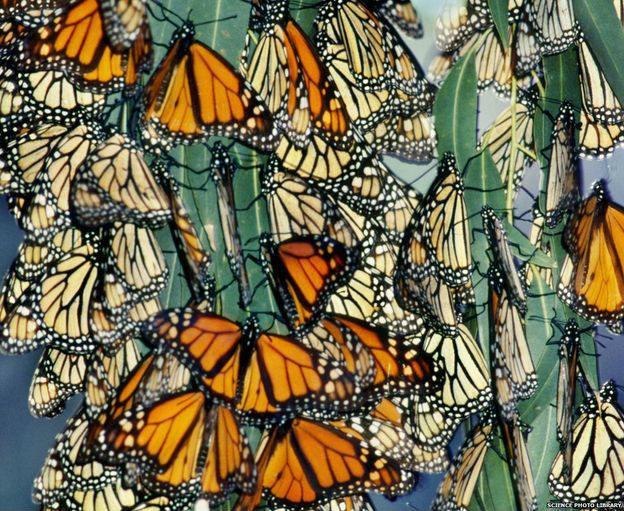 En 2014, hicieron falta 500 millones de mariposas monarca.