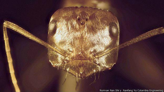 La hormiga plateada del Sahara logra sobrevivr en temperaturas que matan a la mayoría de los animales.
