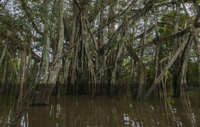 Los-peces-del-Amazonas-amenazados-por-la-desaparicion-de-los-bosques-inundados