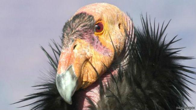 Desde 1992, se han liberado numerosos cóndores de California en distintos lugares que son su hábitat natural.