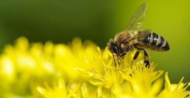 abeja-