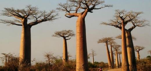 arbol-baobab