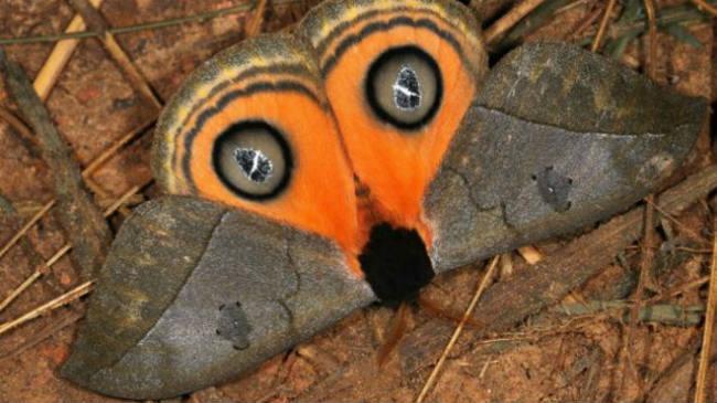 A simple vista puede parecer una lechuza. Pero en realidad es una polilla cuyos ojos falsos la muestran más imponente de lo que es. Es una Automeris Amanda. Imagen: Mileniusz Spanowicz WCS