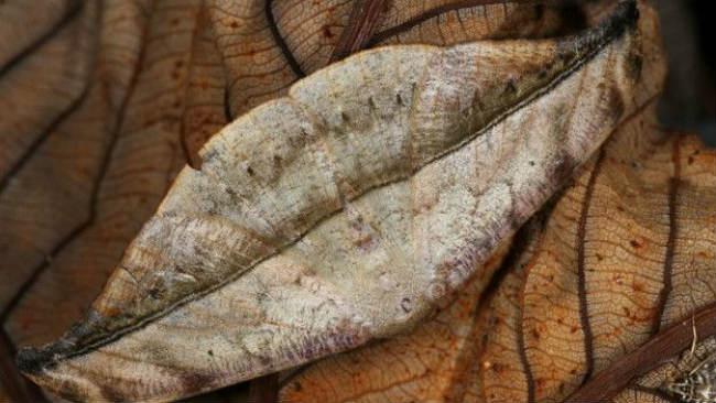 Los adultos de esta especie varían mucho en sus colores y rasgos. El color les da una apariencia tridimensional, pero es sólo una ilusión óptica: sus alas son completamente planas. Foto: Oxydia Angusta. Imagen: Mileniusz Spanowicz WCS