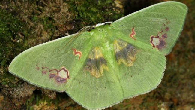 En Bolivia, muchas especies de polillas son temidas porque se cree que cuando se encuentran en una casa, quiere decir que alguien morirá pronto. Foto: Rhodochlora endognoma.. Imagen: Mileniusz Spanowicz WCS