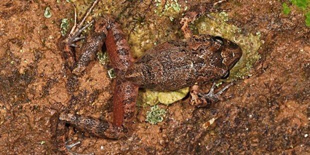 La nueva especie de rana hallada en el Parque Nacional Madidi. EFE/Expedición Identidad Madidi