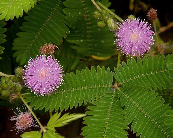 mimosa-pudica-600x480