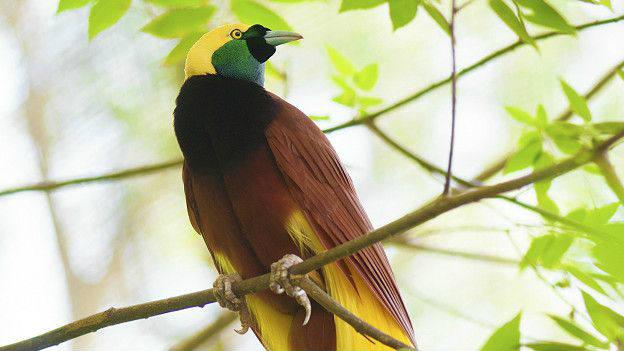 Adams prefiere mantener su mente abierta sobre si son más coloridos los animales tropicales o los de clima templado. En la foto, un ave del paraíso mayor. Imagen: Thinkstock