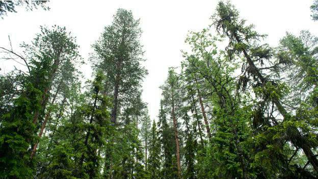 Algunos se quejan de que los altos árboles obstruyen la hermosa vista de las montañas. Imagen: Image copyrightMichael Becker