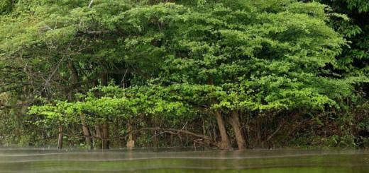 Troncos entrelazados en el Parque Nacional Yasuní. EFE/César Muñoz Acebes