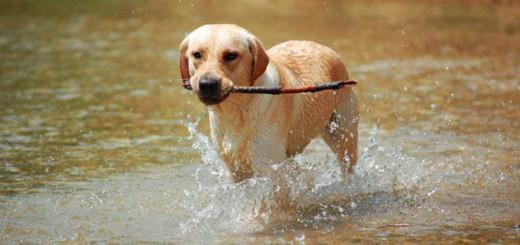 Razas_perros_sobrepeso_labrador