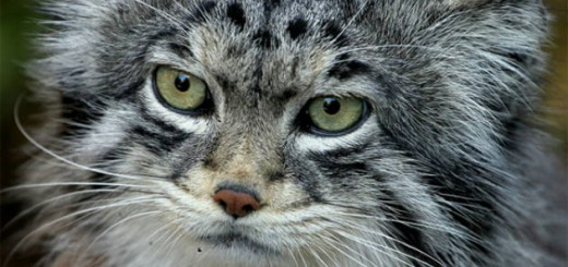 animales_raros_gato_de_pallas