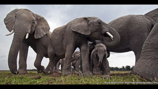 """Manada de elefantes en un abrevadero de la Reserva Nacional Maasai Mara, en Kenia. """"Las maravillas de la naturaleza: La inteligencia de la Creación"""" estará en exposición hasta el 11 de diciembre de 2016."""