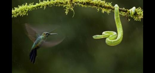 """""""Cara a cara"""". El galardonado fotógrafo húngaro Bence Máté captó este extraordinario momento en el que un brillante coroniverde colibrí se enfrenta a una víbora en Costa Rica."""