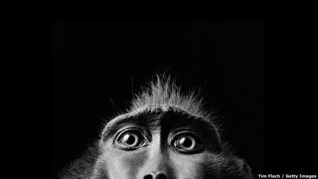 Este plano cerrado de las cejas y la frente de un macaco negro, de Tim Flach, forma parte de la exposición de unas 150 ilustraciones de reconocidos fotógrafos de todo el mundo.