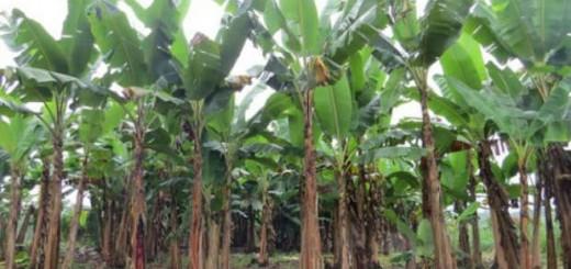 bioenergia-de-los-residuos-del-platano