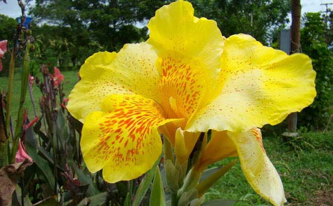 flores-hermosas-mundo-canna-india