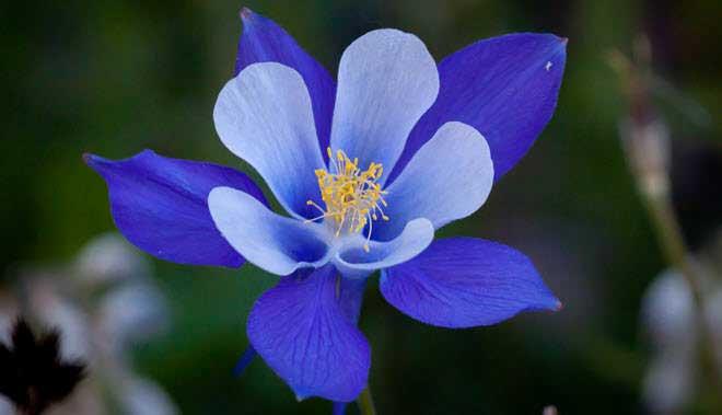 flores-hermosas-mundo-colorado-columbine