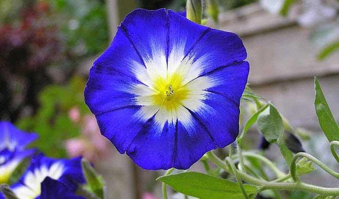 flores-hermosas-mundo-convolvulus-tricolor