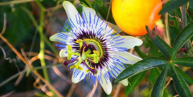 flores-hermosas-mundo-flor-de-la-pasion
