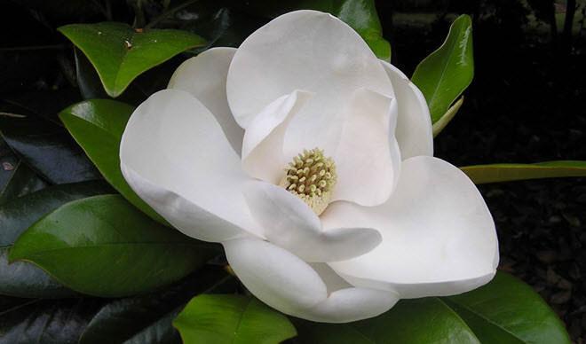 flores-hermosas-mundo-magnolia