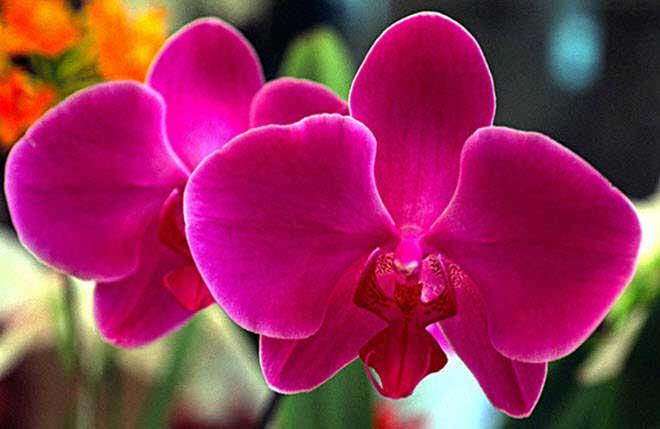 flores-hermosas-mundo-orquidea