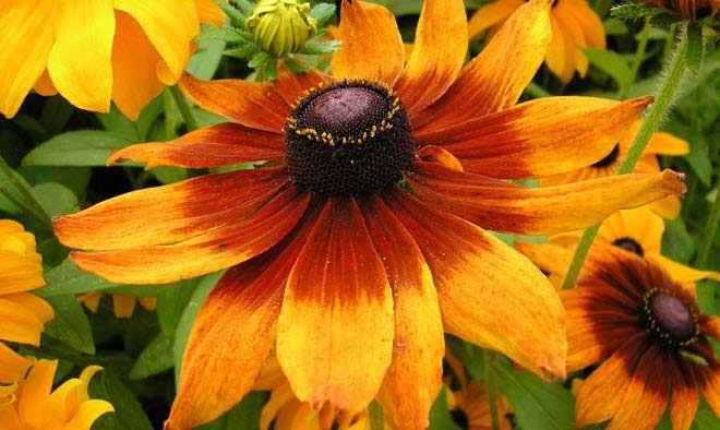flores-hermosas-mundo-orudbeckia-bicolor