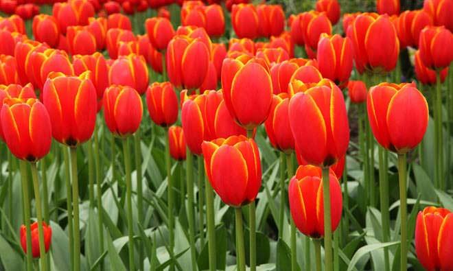 flores-hermosas-mundo-tulipan