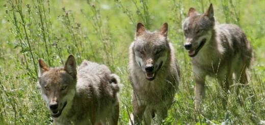 lobos-aullidos