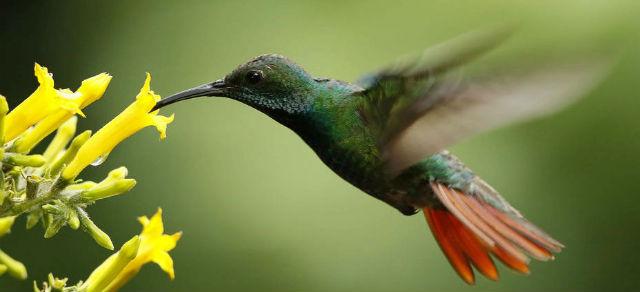 Hermoso colibrí libando el néctar de las flores. Imagen: JEFFREY ARGUEDAS