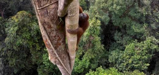 Un orangután de Borneo asciende por un árbol en el parque Nacional Gunung Palung. EFE/T. Laman.